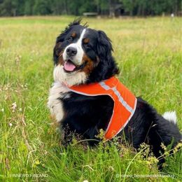 Romeo wears orange  ATTE attention vest size XXL photo : Kaisa Malinen/ romeo_bernesemountaindog