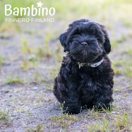 Oiva and his new collar BAMBINO harmony photo: Tiina Korhonen / @tassutteluayhdessa