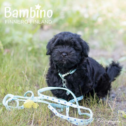 Cute Oiva wears BAMBINO BlueLagoon collar and leash photo: Tiina Korhonen / TK Photography
