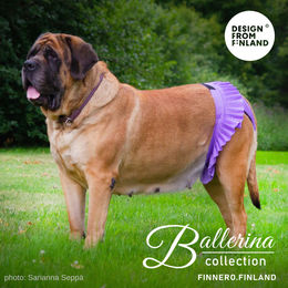 Mastiff Helmi is wearing Ballerina size XL photo: Sarianna Seppä