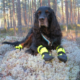Becu have KURA protective booties size M photo: Suvi Salo / @mehtosalon_kennel
