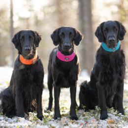 Saaga have orange, Senja pink ja Rudi turquoise OCEAN adjustable collar photo: Juho Pajari / kennel Ninjatähden