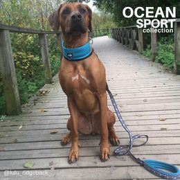 Lulu wears Ocean adjustable collar size L photo: lulu_ridgeback
