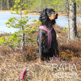 Neela and hers red Ratia 8 shape harness size 50 cm photo: Suvi Salo / Mehtosalon kennel