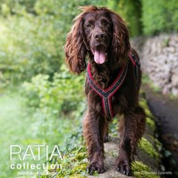 Woody wears RATIA 8 shape harness red 45 cm photo: Megan Williams - The Cotswold Spaniels blog