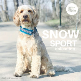 SNOW SPORT collar  2,5 turquoise photo: Melike Kinali @falconthecockerpoo
