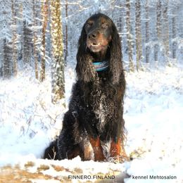 Becu have Snow collar size 4 photo: Suvi Salo / kennel Mehtosalon
