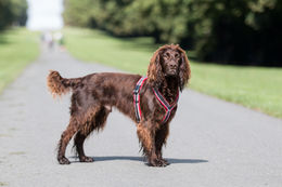 Finnero Ratia 8 shape harness, photo: The Cotswold Spaniels