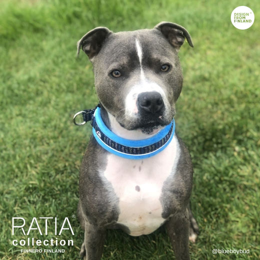Buddy and his turquoise RATIA collar size 2,5 photo: blueboybud